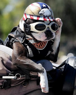 This is Chopper Dog.  He is very inspirational.  He goes to hospitals and other charitable events.  He has his own motorcycle and rides it.