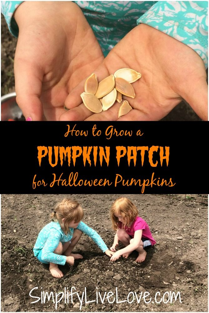 How to Grow a Pumpkin Patch for Halloween Pumpkins. June is the perfect time to start a pumpkin patch for with your kids! Here's how!