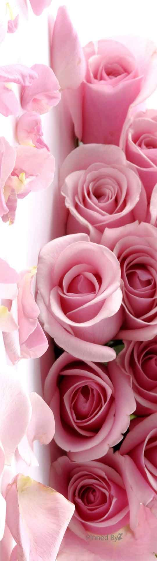 Pink Roses                                                                                                                                                                                 More