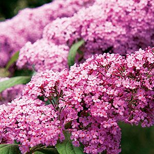 Butterfly bush (Buddleja davidii) ~ These small, fragrant blossoms grow in spikelike clusters and attract butterflies to your garden.   | Sunset.com