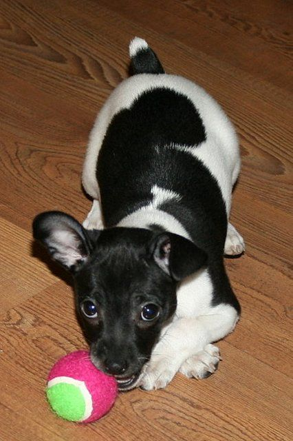 Rat terrier puppy. This is an image we enjoy. Hope you enjoy it too - Little Hawk Trading, a favorite eBay store - Clothing & Shoes for LESS - http://stores.ebay.com/Little-Hawk-Trading