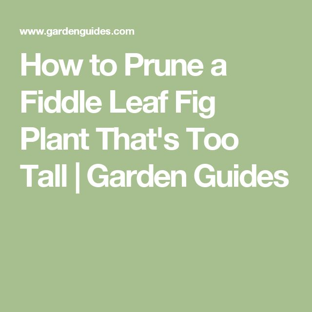 How to Prune a Fiddle Leaf Fig Plant That's Too Tall | Garden Guides