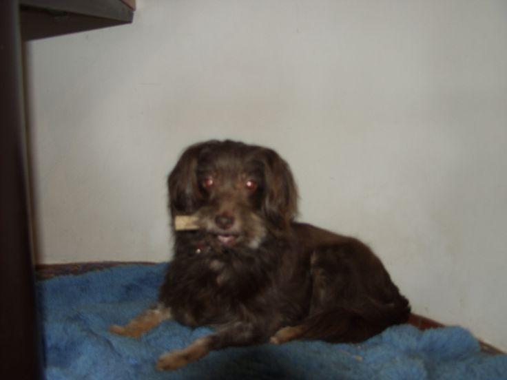 Olga (ollie) Westland Terrier | Pawshake