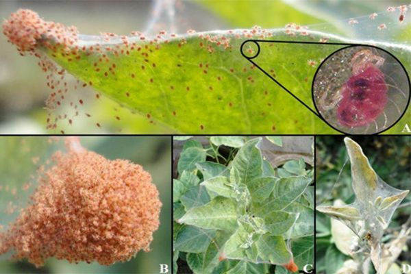Păianjenul roșu (Tetranychus urticae) este un dăunător periculos ce atacă atât plantele de apartament cât și culturile de legume din grădină, sere sau solarii, viță de vie și pomii fructi