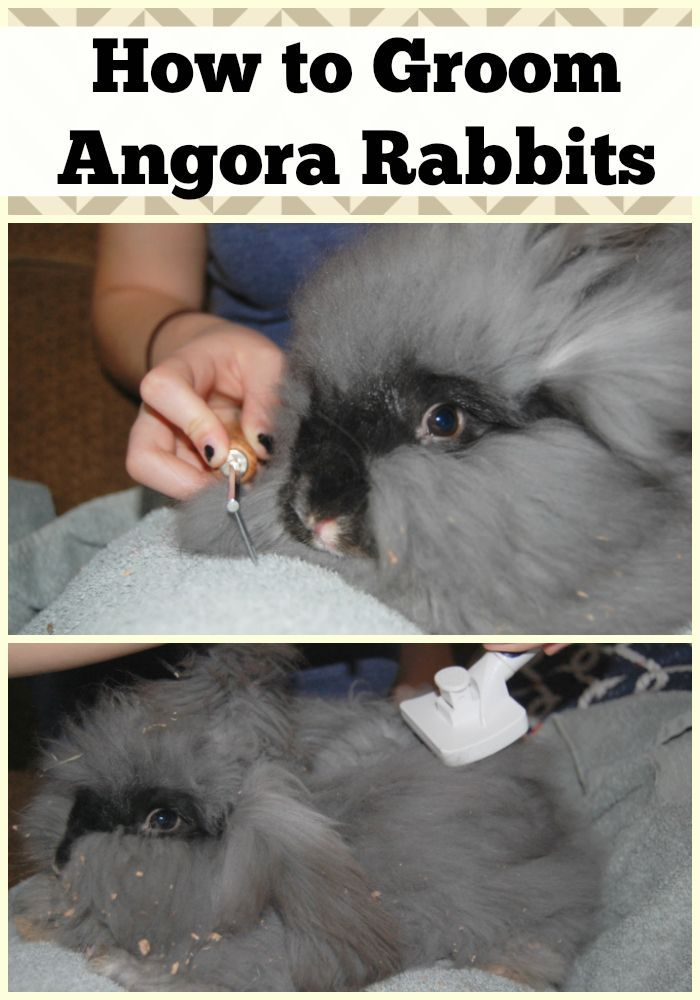English Angora Rabbits require special care to keep them happy & healthy. But you don't have to be overwhelmed! Read on for Angora Rabbit grooming tips!