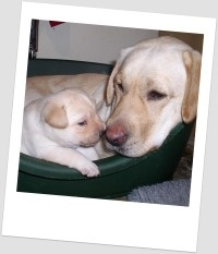 Latest puppy recruits - Lola  #puppies #dogs # assistance dogs #cute #charity http://www.dogsforthedisabled.org/our-dogs/latest-puppy-recruits/#