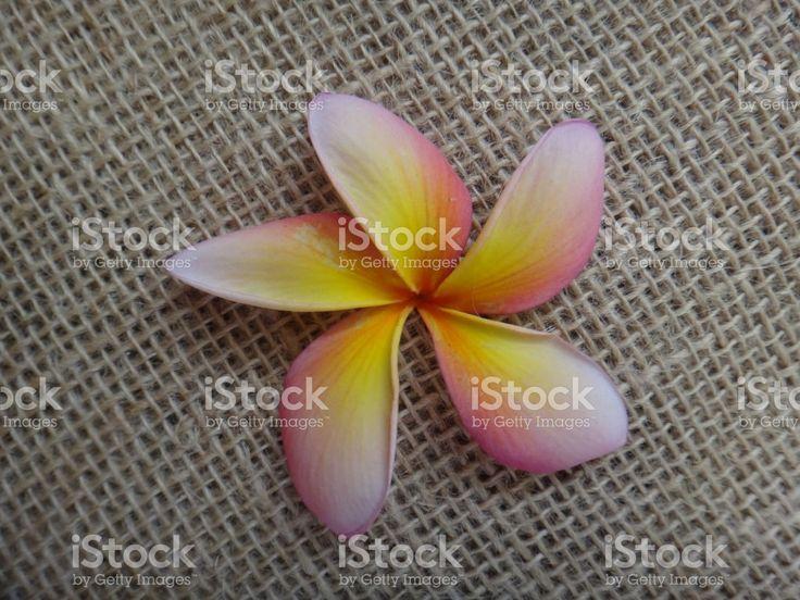 Jasmim-manga Plumeria Tricolor ou comum - flor - rosa, amarelo e branco foto royalty-free