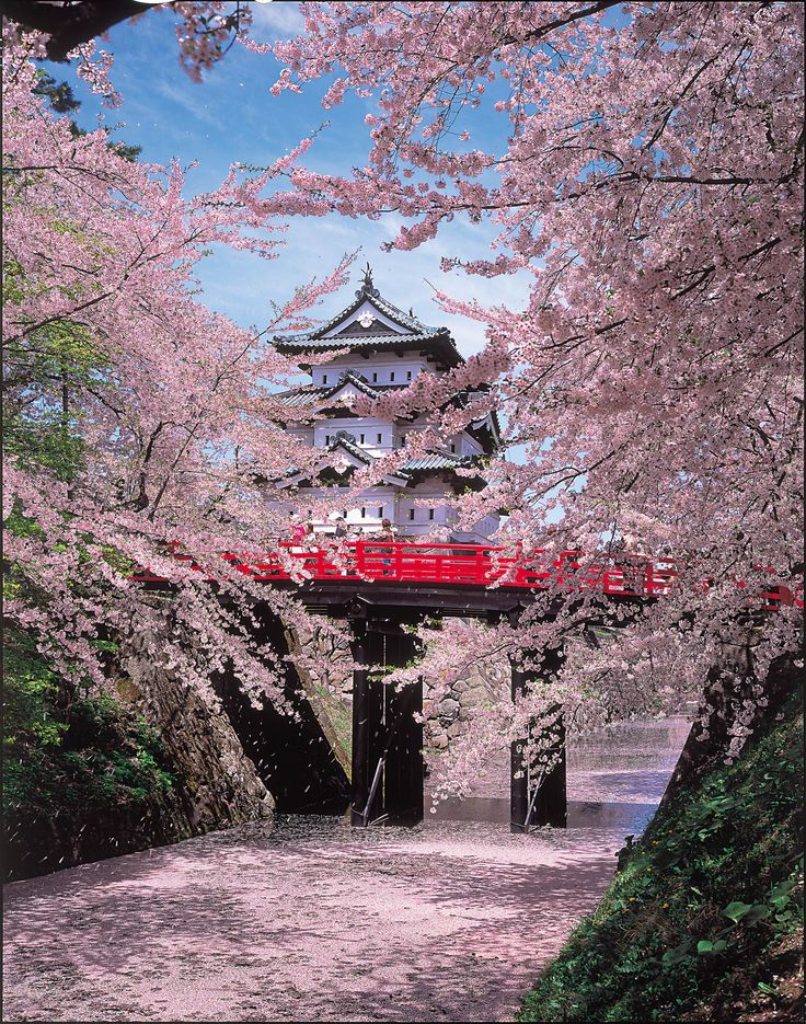 This is Hirosaki Castle with sakura blossoms in Aomori, Japan 弘前城. It's one of my favorite festivals to go to!