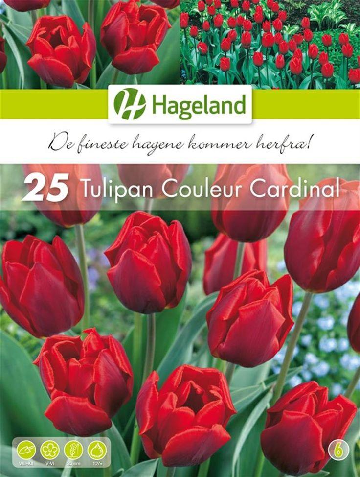 Bilde av Tulipa Couleur Cardinal