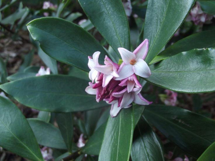 Daphne Odoras - Taken at the Mount Lofty Botanic Garden, South Australia.