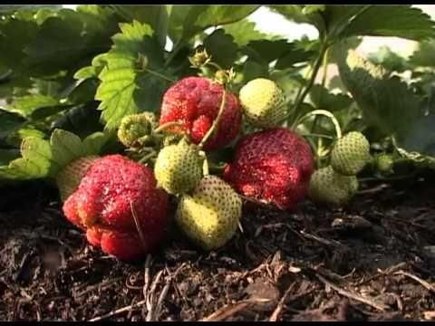Секреты эффективного выращивания клубники - YouTube