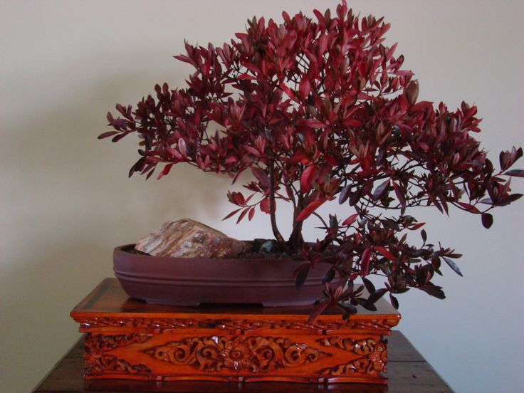 #3 Autumn color on Azalea bonsai (2013).