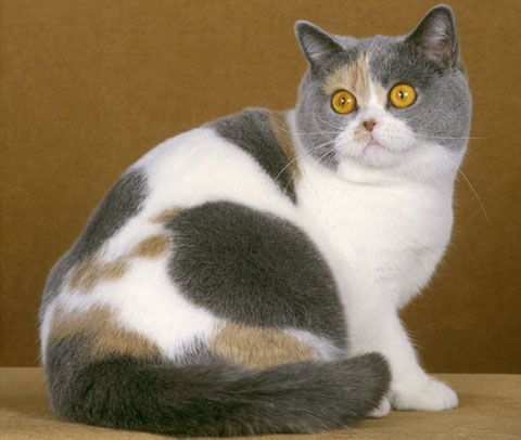 British shorthair breed colours