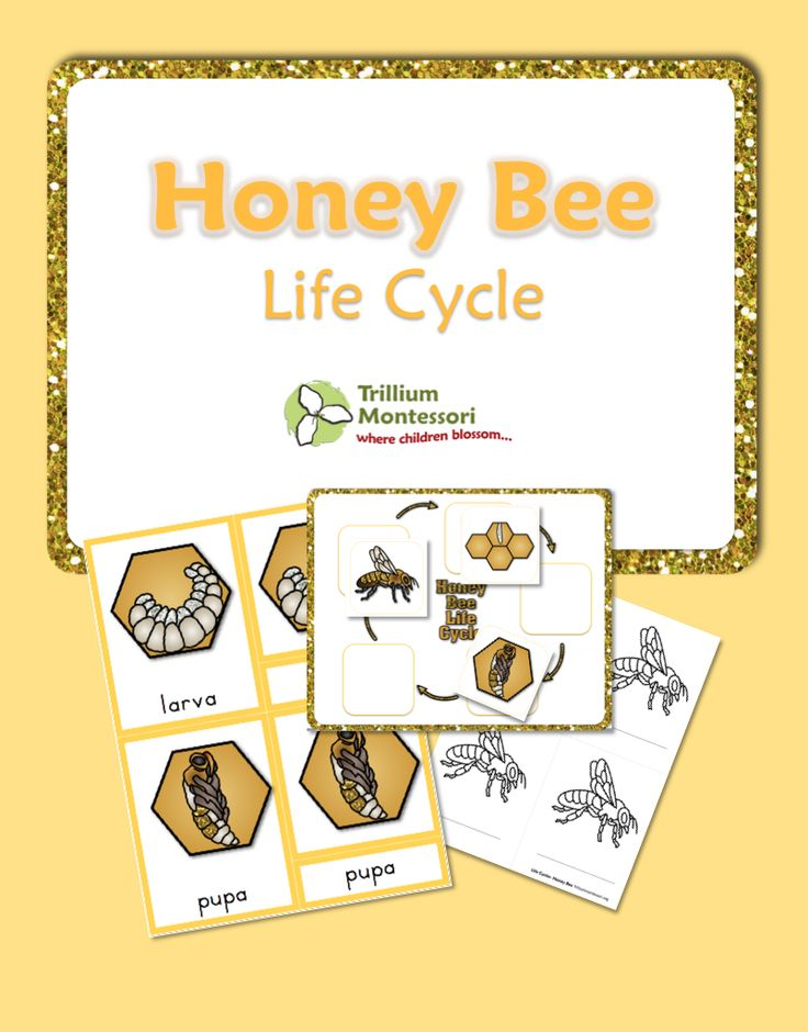 free printable life cycle of a honey bee honey bees honey and bees. Black Bedroom Furniture Sets. Home Design Ideas