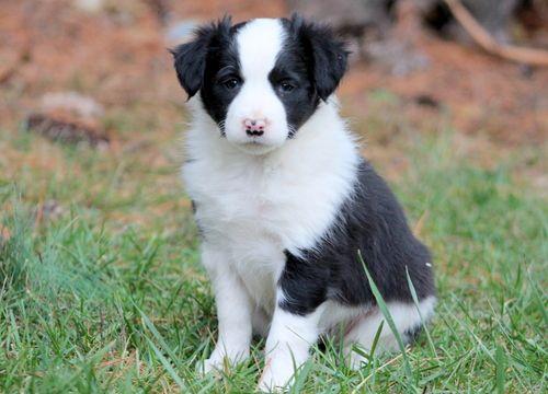Border Collie puppy for sale in MOUNT JOY, PA. ADN-52556 on PuppyFinder.com Gender: Female. Age: 6 Weeks Old