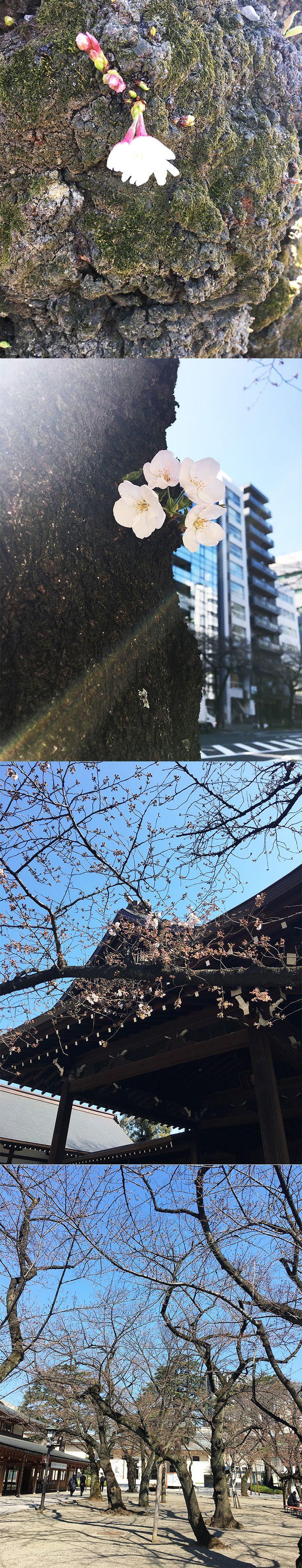 【編集者M】今日の桜のスナップです!靖国神社のつぶ子ちゃん1号は下を向きつつも可愛らしく咲いています靖国通りのつぶ子ちゃん2号はビルをバックに可愛らしく咲いていました標準木 はまだまだこれから他の木もまだ咲いてないので、今週末は花見の時期ではないのかも?
