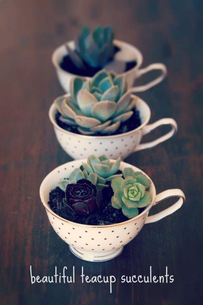 Teacup Succulents - cocobean - Nature Walkz