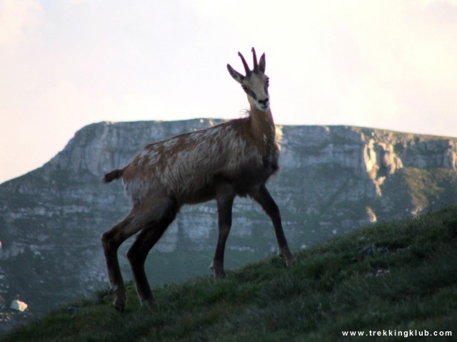 Chamois - Bucegi mountains