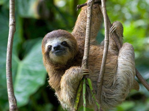 SlothThree To Sloths, Brown Throat Three To,  Bradypus Tridactylus, Young Brown Throat, Costa Rica, Sloths Hanging, Threeto Sloths, Three-To Sloths, Sloths Posters