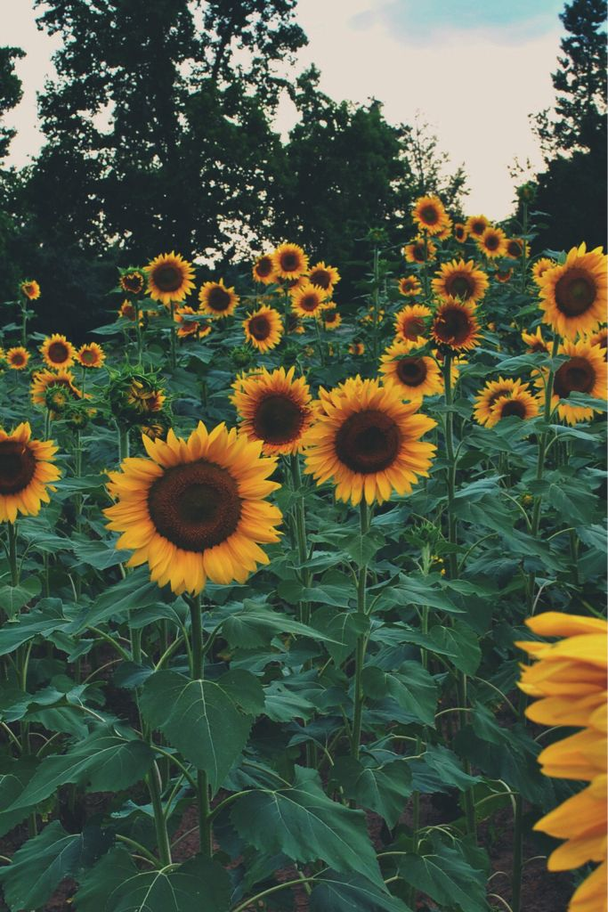 Phone Backgrounds Yellow Nature Sunflowers