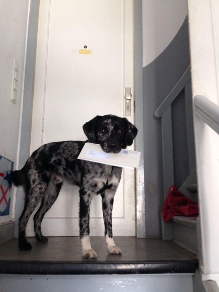 #postman #cute dir #funny dog #gatsby #love