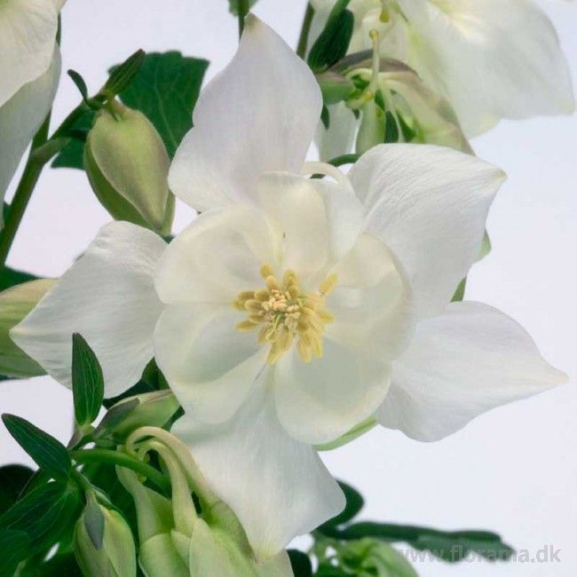 Akeleje ' Spring Magic White' Aquilegia