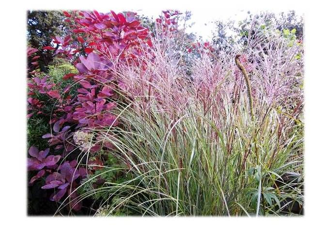 Cotinus coggygria 'Royal Purple' next to Miscanthus sinensis 'Morning Light'.