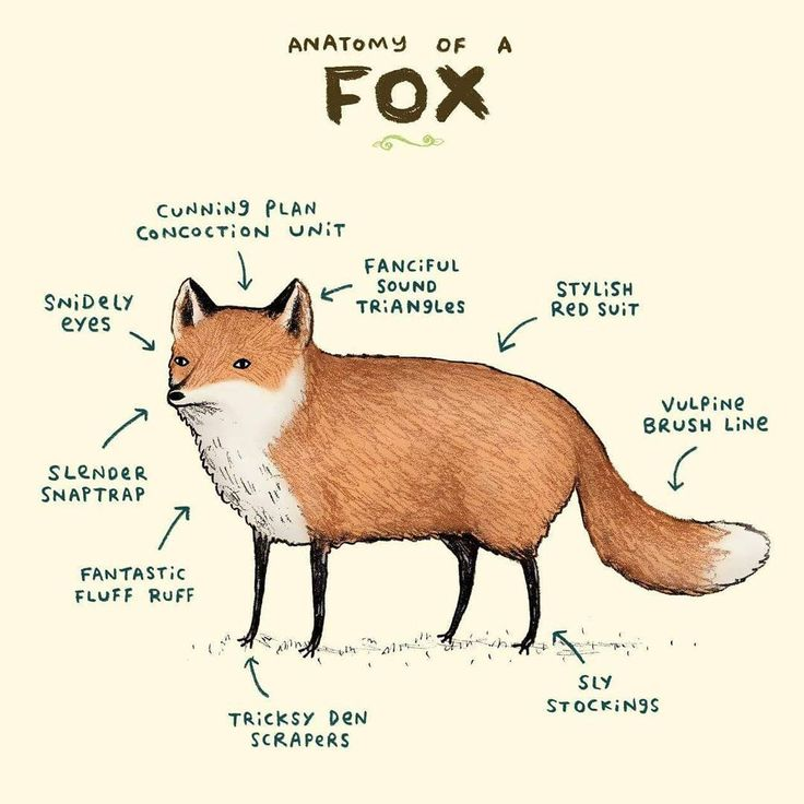 Anatomy of a fox.