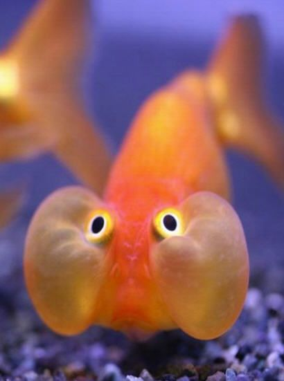 Chipmunk cheeks my fat pet fish pinterest funny for What are fatty fish