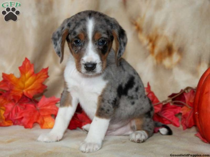 Mel, Miniature Australian Shepherd Mix Puppy For Sale from