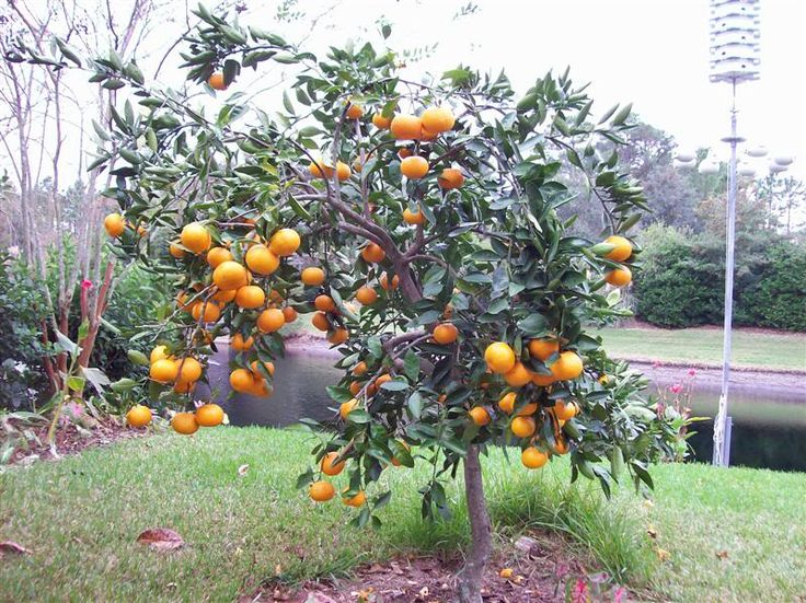 pair of charlie brown satsumas in the front yard yes yes - Trees For Home Garden