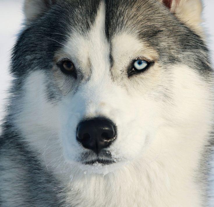 chien husky   race,Husky,siberien,musher,traineau,chien,yeux,bleu,vairons,lignée
