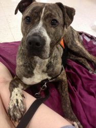 TIBBY FKA TARA is an adoptable Terrier Dog in Philadelphia, PA.  Hi! My name's Tibby. I'm a 1-2yr old female American Pitbull Terrier mix found as a stray in Philadelphia. I have the most gorgeous, s...