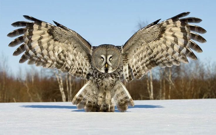THE GREAT GREY OWL  Photograph by JARI PELTOMAKI on Google+  Photographer Jari Peltomaki's Remarks: Great Grey Owl is my favourite bird species and I have done a lot of photography with them in Finland. I also arrange workshops to photograph them when there is a good situation to photograph them! The Great [...]