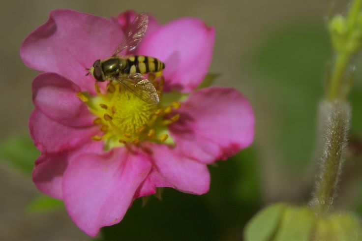 Another Strawberry Flower Fly by Annitta Vith Jensen on 500px