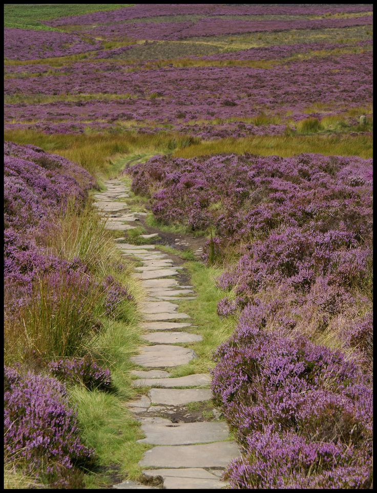 Moorland heather in Yorkshire
