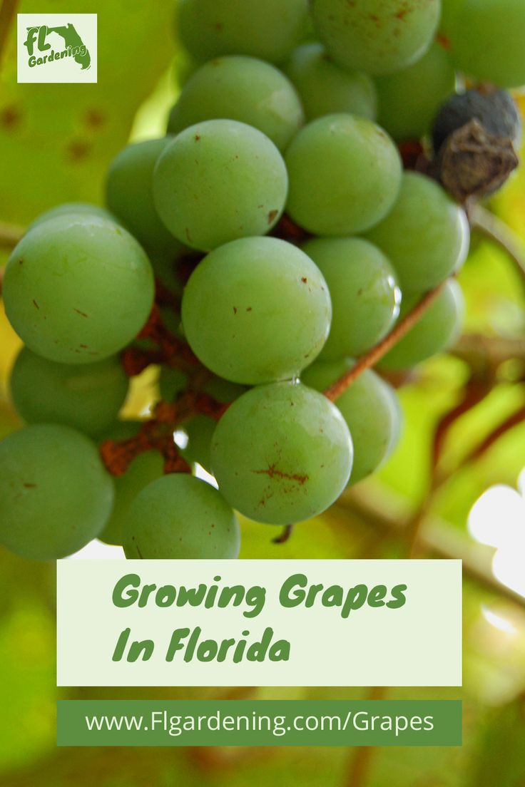 Grapes That Grow Well In Florida Grapes, Growing grapes