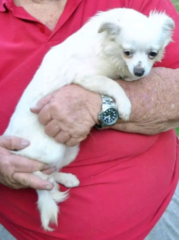 Adult39s Australia Chihuahua Dogs Gumtree Puppies Pups Sale Som Chihuahua Adult 39 S And Pups For Sale