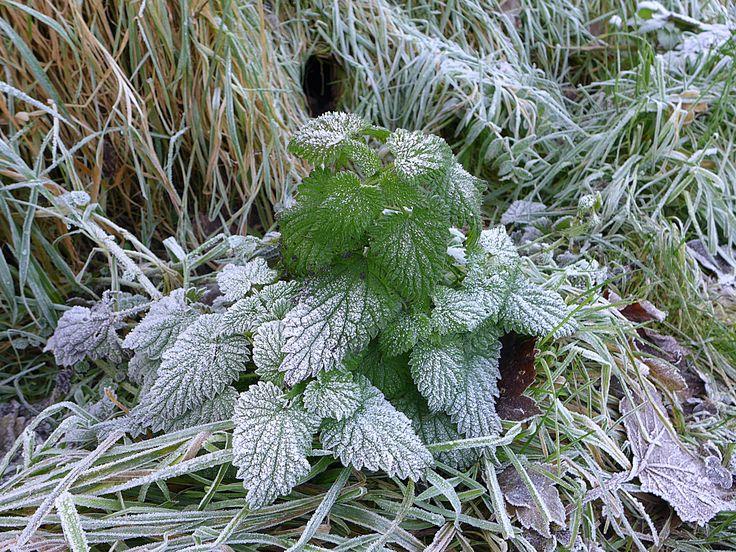 #frost #minze #mint #loughcrew #ireland