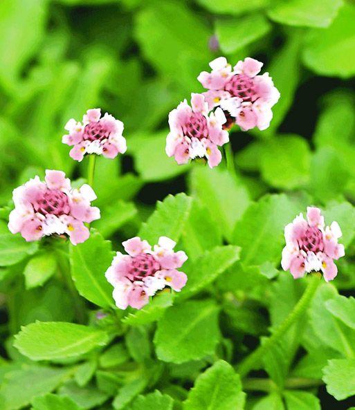 Pinterestu0027teki 25u0027den fazla en iyi Pflanzen kaufen fikri Garten - gartenpflanzen winterhart immergrun