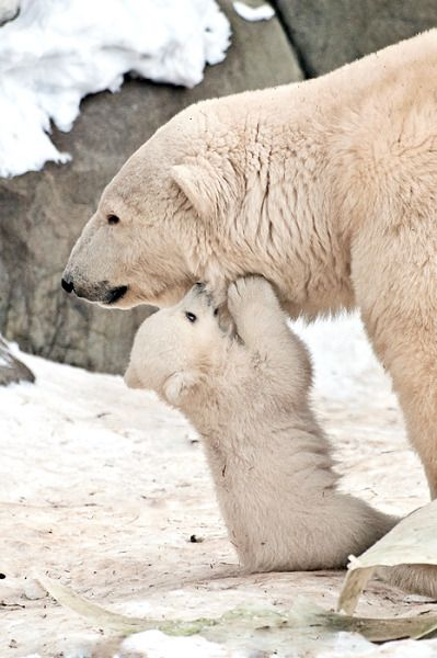 cute polar bear mum and cub