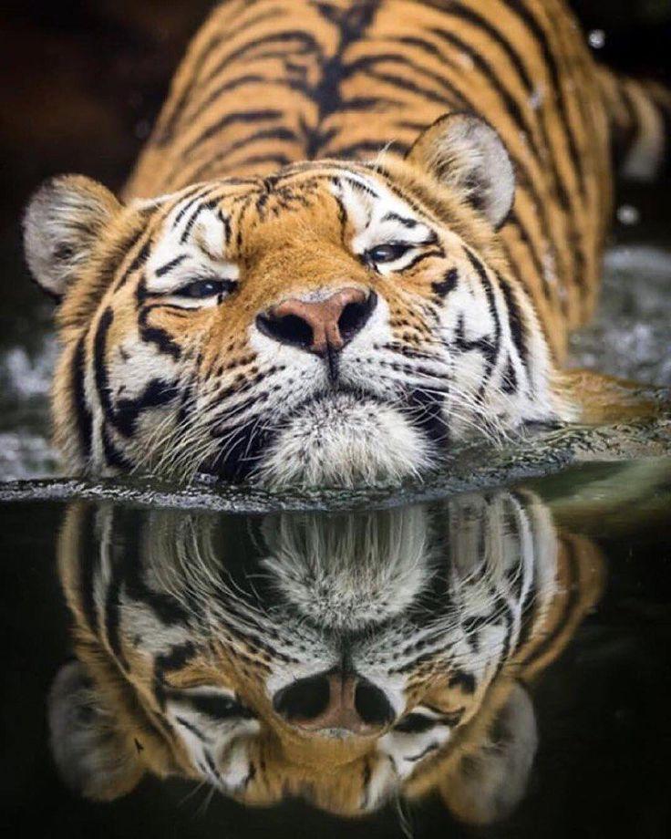Best 25+ Tiger species ideas on Pinterest | Species of ...