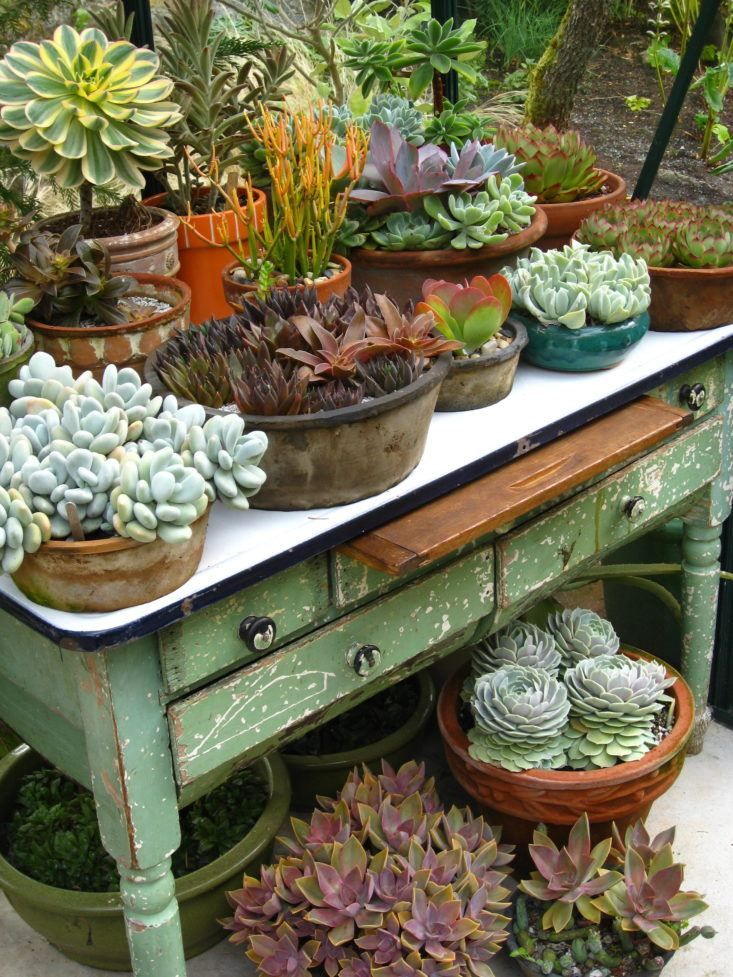 Succulent collection on a vintage work table in a greenhouse/ propagation workshop in British Columbia