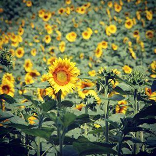 Champ de tournesol bio #gerstourisme #sunflower #nature #green #gers #tourismegers