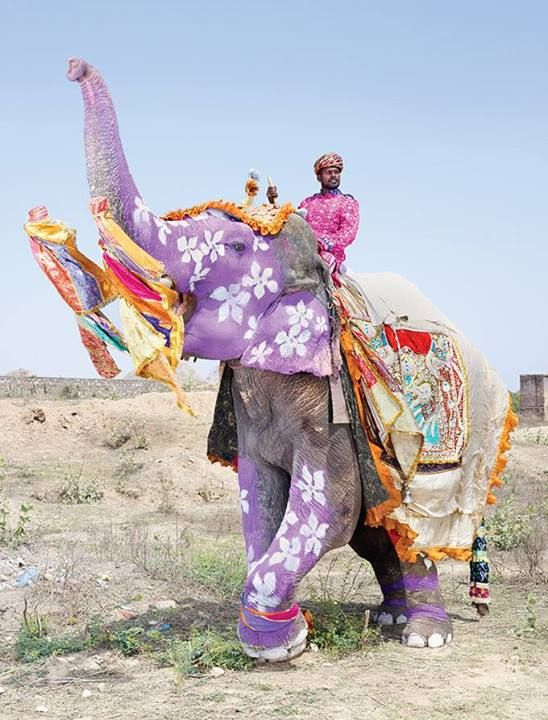Pink Elephant in India