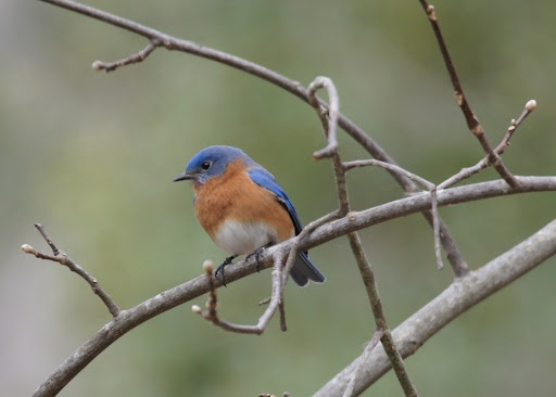 bluebirds - Google Search