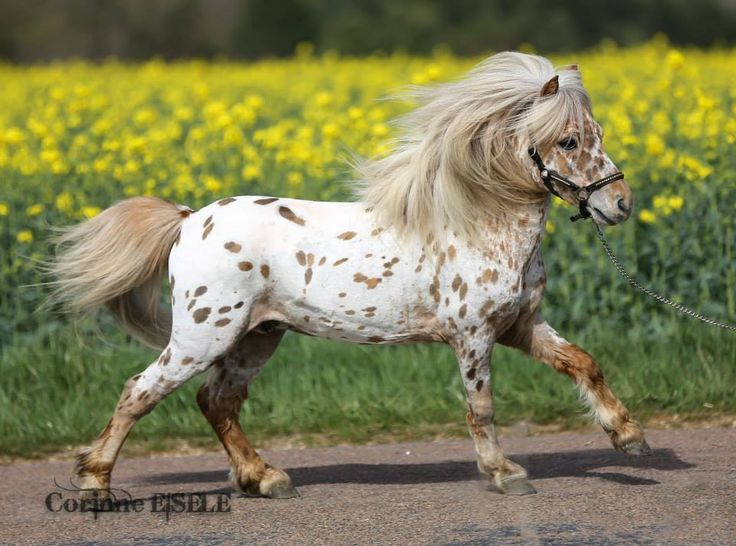 appaloosa miniature horse