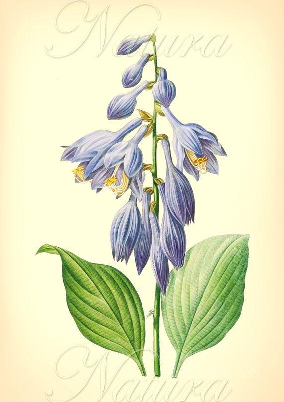 blue Redoute botanical illustration