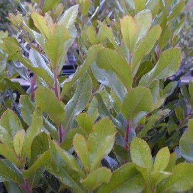 L'Arbousier (Arbutus) est un arbre ou arbuste de taille moyenne, à l'écorce rouge très décorative. Ses fruits sont comestibles et colorés à la surface d'aspect piquant.