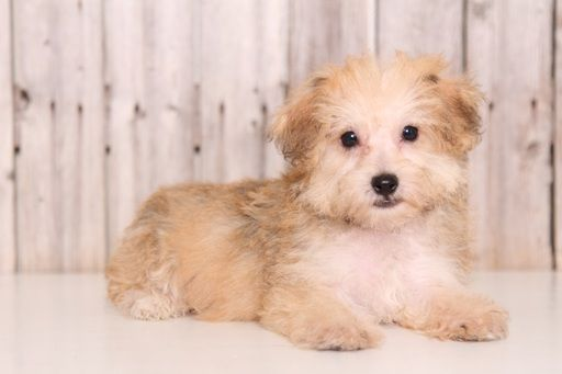 Morkie puppy for sale in MOUNT VERNON, OH. ADN-45889 on PuppyFinder.com Gender: Male. Age: 10 Weeks Old